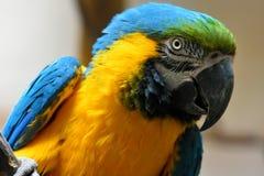 一只黄色和蓝色金刚鹦鹉鹦鹉的画象 免版税库存图片