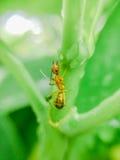 一只黄色蚂蚁 免版税库存照片