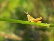 一只黄色蚂蚱坐一个绿草特写镜头 库存照片