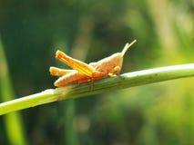 一只黄色蚂蚱坐一个绿草特写镜头 免版税库存照片