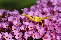 一只黄色螃蟹蜘蛛, Thomisidae Misumena在醉鱼草属花的vatia狩猎 免版税库存图片