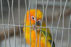 一只黄色鹦鹉的特写镜头图象在笼子的 免版税库存照片