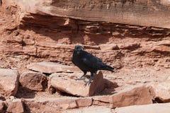 一只黑乌鸦在岩石机敏站立 库存照片