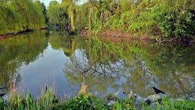 一只黑乌鸦在岩石站立在池塘旁边 影视素材
