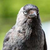 一只黑乌鸦的特写镜头 库存照片