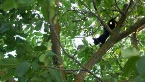 一只黑家猫下降核桃树 她灵巧地沿分支移动 影视素材