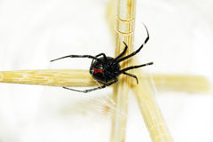 一只黑寡妇蜘蛛的腹部 免版税图库摄影