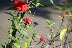 一只黑暗的蝴蝶为花的蜂蜜寻找 免版税库存照片