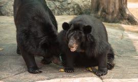 一只黑熊或水牛城熊,野生生物动物的图象 免版税库存照片