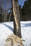 一只黑熊砍伤的阔叶树在Rangeley,缅因 免版税库存照片