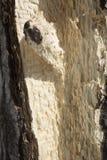 一只黑熊砍伤的阔叶树在Rangeley,缅因 免版税库存图片