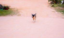 一只黑白流浪狗向摄影师移动,但是 库存图片