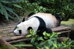一只黑白熊猫的画象 库存照片