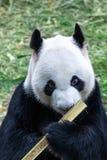 一只黑白熊猫的画象 免版税库存图片