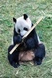 一只黑白熊猫的画象 库存图片