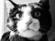 一只黑白猫 免版税库存照片