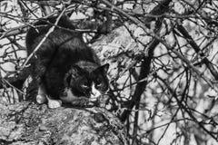 一只黑白美丽的恼怒的猫和在树的狂放的神色争夺的黑白照片与大眼睛的 免版税库存照片