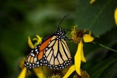 一只黑脉金斑蝶的特写镜头在一朵黄色花的 库存图片