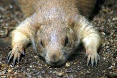 一只黑草原土拨鼠的画象 库存图片
