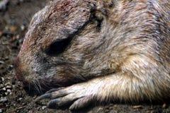 一只黑草原土拨鼠的画象 免版税库存照片