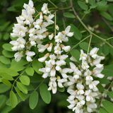 一只黑蝗虫的白色开花在春天 免版税库存照片