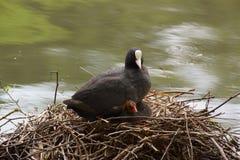 一只黑雌红松鸡,在它的巢的基于 免版税库存图片