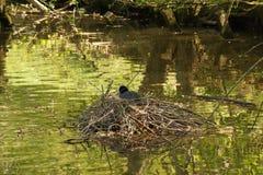一只黑雌红松鸡,在湖-法国中间的巢 免版税库存照片