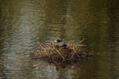 一只黑雌红松鸡-正面图-法国 库存图片