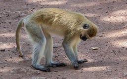一只黑面的黑长尾小猴坐土路 免版税库存图片
