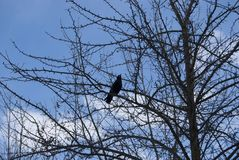 一只黑鸟白嘴鸦坐树枝 库存图片