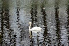 一只, 1只天鹅和一只鸭子池塘的水表面上 免版税库存图片