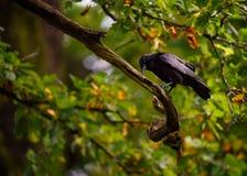 一只黑乌鸦在秋天 免版税库存图片