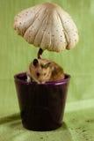 一只经典叙利亚仓鼠宠物 库存照片