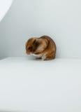 一只经典叙利亚仓鼠宠物 免版税库存照片