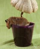 一只经典叙利亚仓鼠宠物 免版税图库摄影