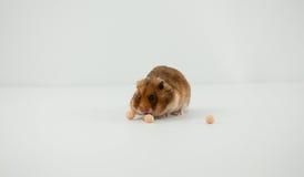 一只经典叙利亚仓鼠宠物 库存图片
