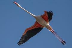 一只更加伟大的火鸟鸟 库存图片