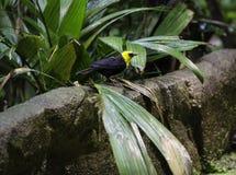 一只黑和黄色异乎寻常的鸟 免版税库存照片