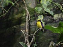 一只黑和黄色异乎寻常的鸟 图库摄影