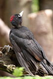 一只黑啄木鸟 库存照片