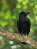 一只黑大鸟坐分支,被转动他的头在右边,查寻,反对绿色森林背景  库存图片