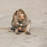 一只猴子吃玉米 免版税库存照片