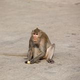 一只猴子吃玉米 免版税图库摄影