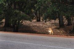 一只猴子在等待从人的路旁边坐食物 库存图片