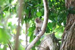 一只猴子在自然生态环境,戏耍和移动, Rawi海岛,沙敦府,泰国 免版税库存图片
