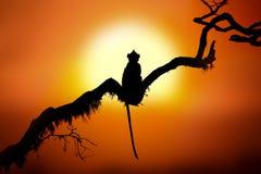 一只猴子的剪影在日落的 免版税库存图片
