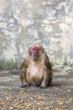 一只猴子的图象在自然背景的 通配的动物 免版税库存照片