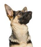 一只年轻德国牧羊犬的特写镜头,查寻 库存照片
