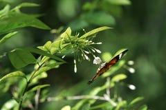 一只黑橙色棕色蝴蝶的特写镜头颠倒坐吃它的花蜜的白色小花 免版税图库摄影