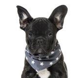一只黑法国牛头犬小狗的特写镜头与一条满天星斗的围巾的 免版税库存照片